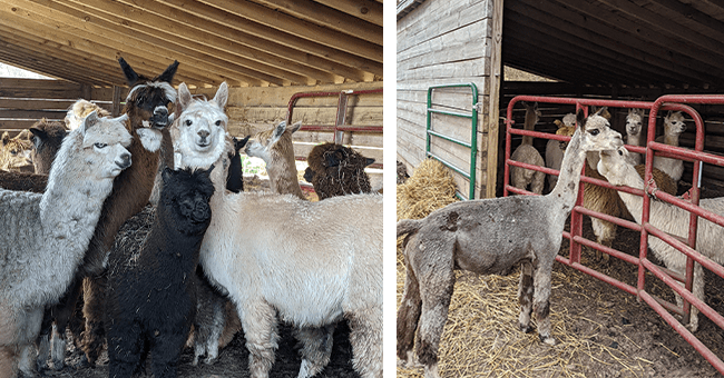 17 images of alpaca and llama farm | thumbnail side by side before and after sheathing llama and alpacas