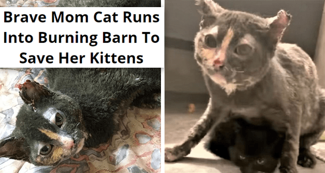 story about a mom cat running into a burning barn to save her kittens | thumbnail includes two pictures of a burnt cat protecting a kitten 'Brave Mom Cat Runs Into Burning Barn To Save Her Kittens'