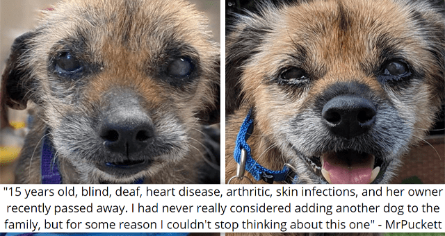 imgur thread about a senior sick blind and deaf dog getting adopted | thumbnail includes two before and after pictures of a blind dog '15 years old, blind, deaf, heart disease, arthritic, skin infections, and her owner recently passed away. I had never really considered adding another dog to the family, but for some reason I couldn't stop thinking about this one MrPuckett'
