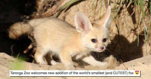 baby fennec fox fox zoo cute