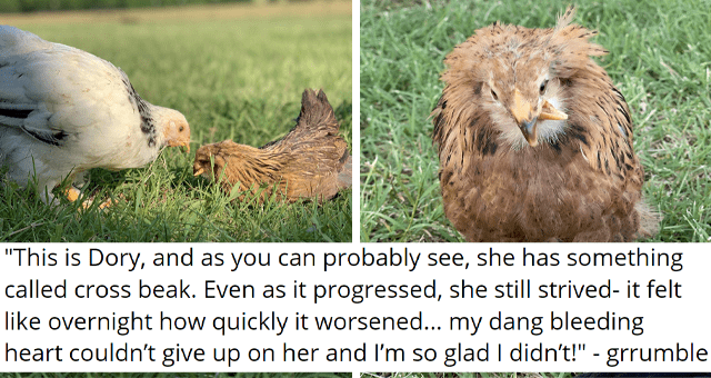 viral imgur thread of a chicken with a scissor beak condition | thumbnail includes two pictures of a chicken with a cross beak condition 'This is Dory, and as you can probably see, she has something called cross beak. Even as it progressed, she still strived- it felt like overnight how quickly it worsened... my dang bleeding heart couldn't give up on her and I'm so glad I didn't grrumble'