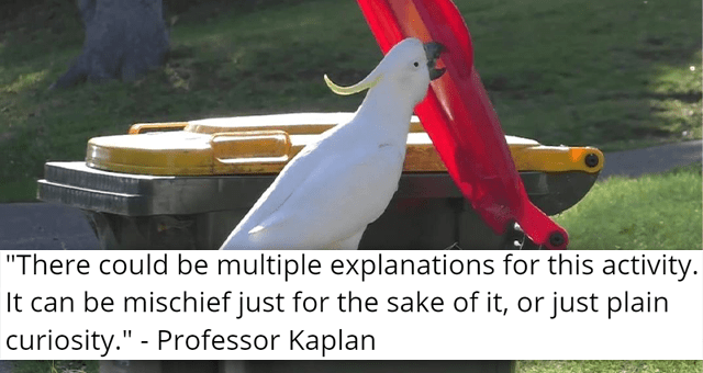 story about cockatoos opening up trash cans by themselves | thumbnail includes a picture of a cockatoo lifting a trash can lid 'There could be multiple explanations for this activity. It can be mischief just for the sake of it, or just plain curiosity Professor Kaplan'