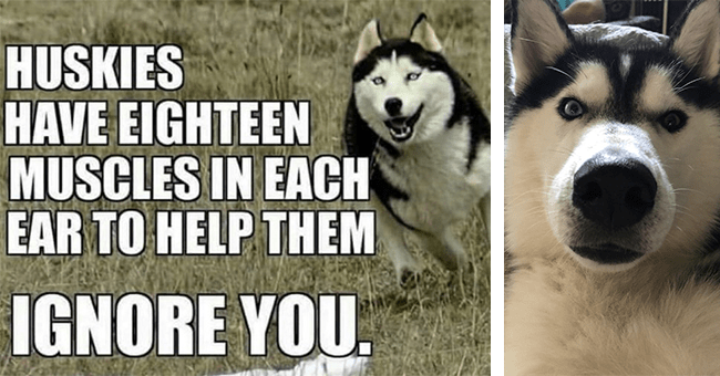 16 husky memes and gifs | thumbnail left husky meme 18 ear muscles to ignore you, thumbnail right husky face close up