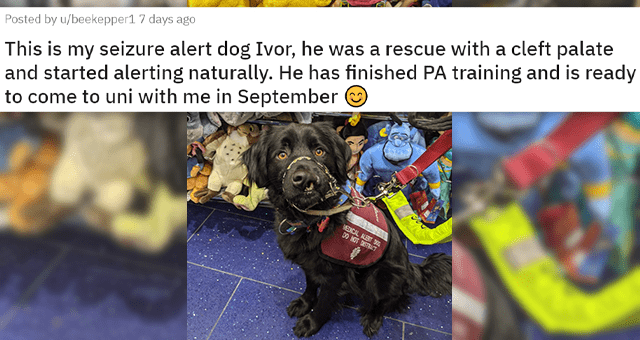 posts about dogs who have jobs | thumbnail includes a picture of a black dog wearing a vest in a toy store 'This is my seizure alert dog Ivor, he was a rescue with a cleft palate and started alerting naturally. He has finished PA training and is ready to come to uni with me in September u/beekepper1'