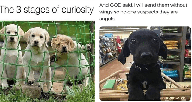collection of dog memes | thumbnail includes two memes including a puppy in a shopping cart 'Dog - And GOD said, I will send them without wings so no one suspects they are angels.' and three dogs trying to climb through a fence 'Dog - The 3 stages of curiosity'
