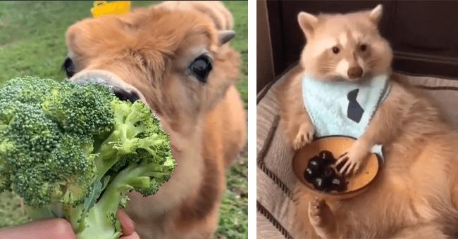 10 animal gifs eating | thumbnail left cow eating broccoli, thumbnail right fox eating berries