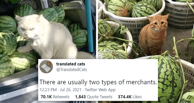 This week's collection of cat tweets | thumbnail includes two pictures of cats next to watermelons 'Plant - ... translated cats @TranslatedCats There are usually two types of merchants. ORAANA 12:23 PM Jul 26, 2021 · Twitter Web App 66.9K Retweets 1,773 Quote Tweets 360.7K Likes'