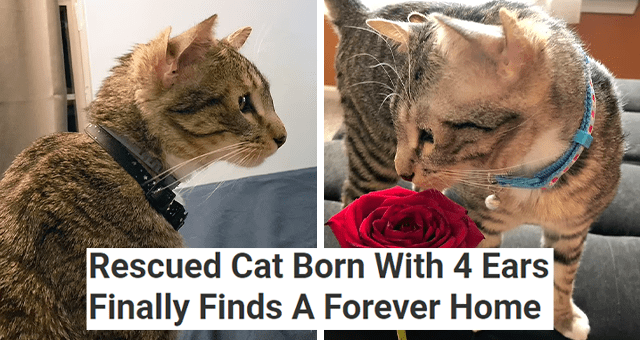 story about a cat with four ears getting adopted | thumbnail includes two pictures of a cat with four ears 'Rescued Cat Born With 4 Ears Finally Finds A Forever Home'