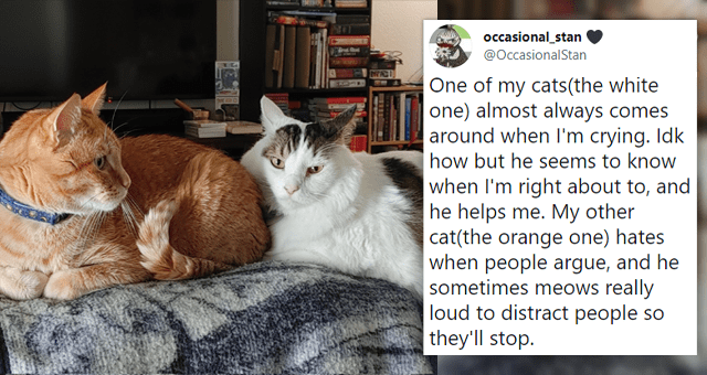 collection of tweets about cats showing affection to their humans | thumbnail includes a picture of two cats and one tweet 'Cat - occasional_stan @OccasionalStan ... Replying to @won5ol One of my cats(the white one) almost always comes around when I'm crying. Idk how but he seems to know when I'm right about to, and he helps me. My other cat(the orange one) hates when people argue, and he sometimes meows really loud to distract people so they'll stop. 9:17 AM Jul 29, 2021 · Twitter for Android '