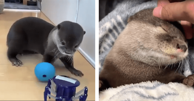 29 otter gifs | thumbnail left otter with toy, thumbnail right otter sleeping getting pet
