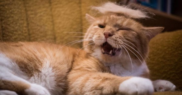 hair hairball donald trump president trump cat hair Cats - 1492485