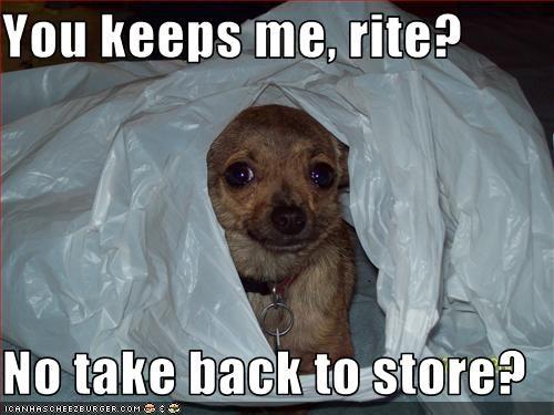 chihuahua,cute,puppy,store
