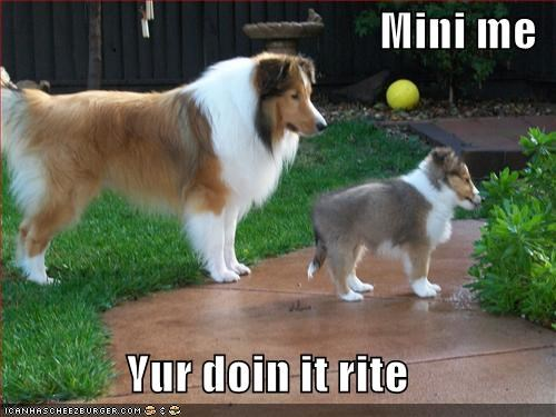 collie,doin it rite,mini me,puppy