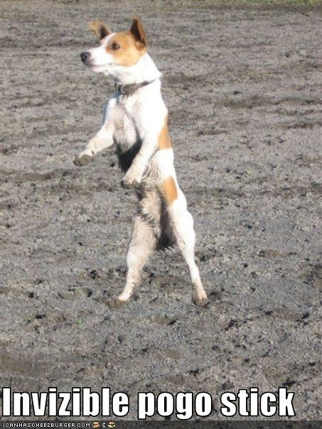 invisible,jack russel terrier