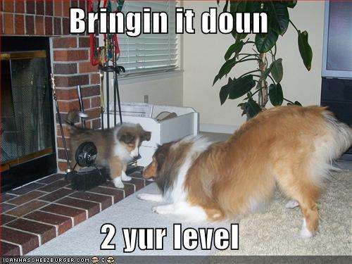 collie,puppy