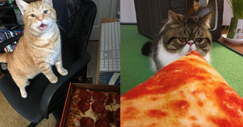 pizza food noms Cats - 1525253