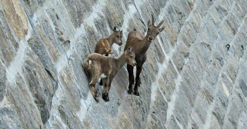 list goats cute animals - 1537797