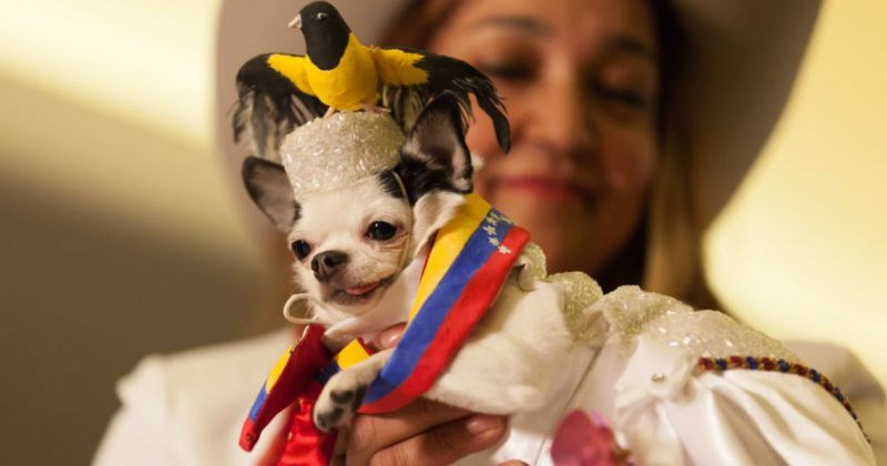 costume,dogs,fashion,pets,fashion show,fabulous,new york
