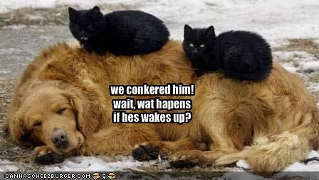 golden retriever lolcats sleeping - 1543804160