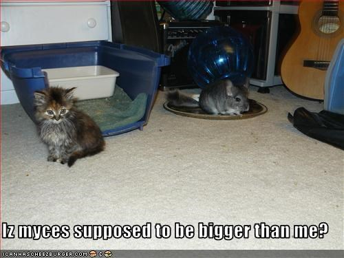 big,chinchilla,confused,cute,kitten,lolcats,lolchilla,lolkittehs