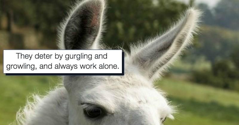 llama list cute animals - 1554181
