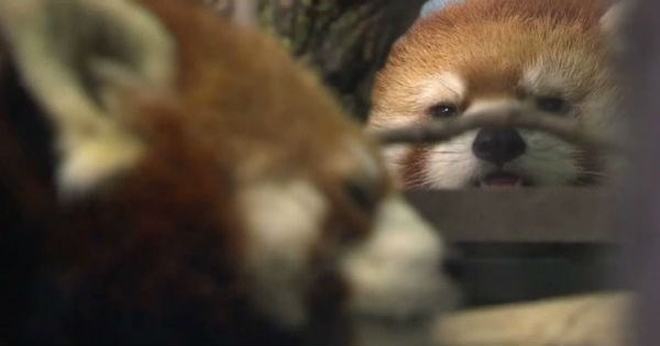 red panda,Canada,mating,red pandas,zoo,love