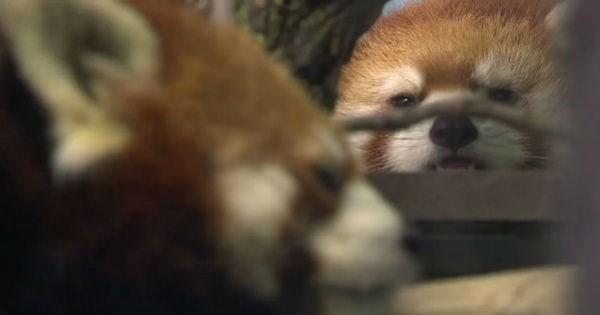 red panda Canada mating red pandas zoo love - 1561605