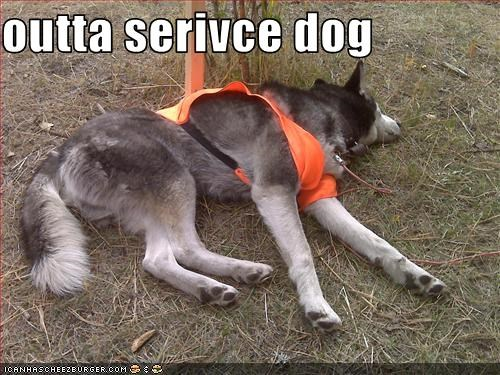 helping,husky,rescue,service dogs,sleeping,sleepy,work