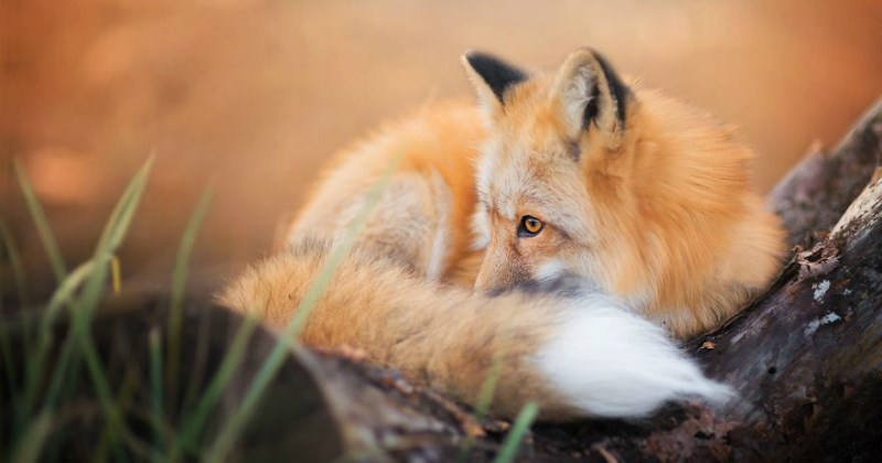 list,fox,cute,animals