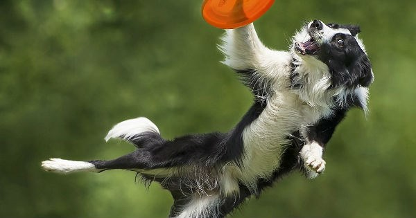 dog catching Frisbee photoshops