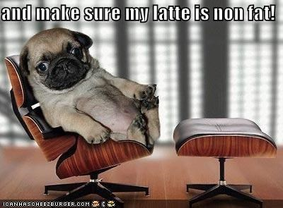 chair coffee latte Office pug puppy