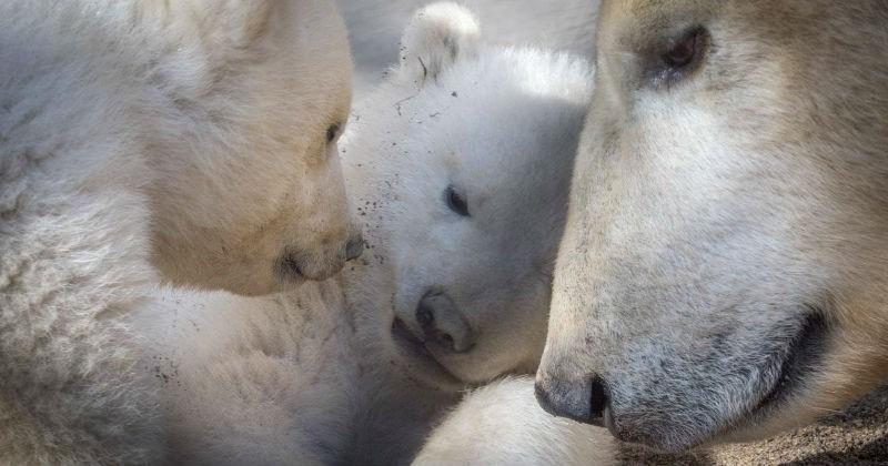 polar bear zoo cubs cute - 1609221