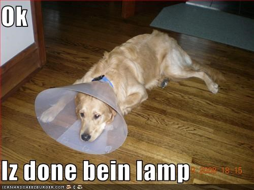 bored,cone,golden retriever