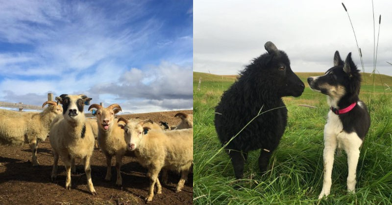 Iceland dogs goats sheep farm farm animals cows - 1631493