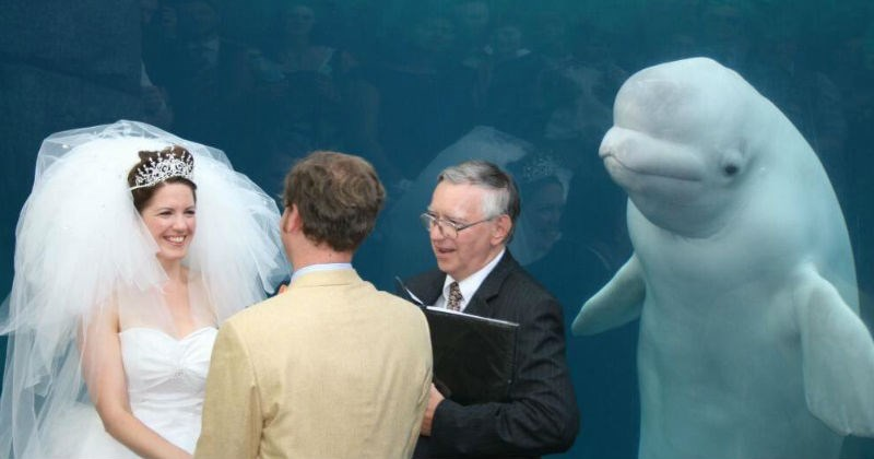 Beluga whale photobombs a wedding at an Aquarium in best photobomb in history