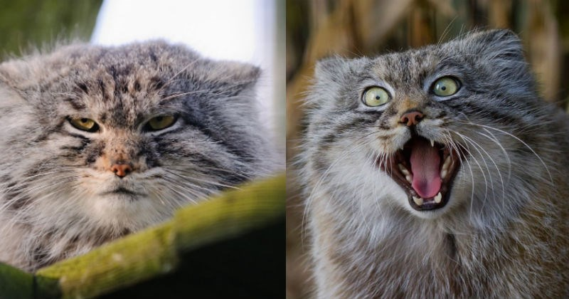 big cats reaction emotions funny pallas cat wild - 1656837