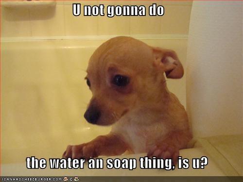 bath bathroom chihuahua water - 1687614208