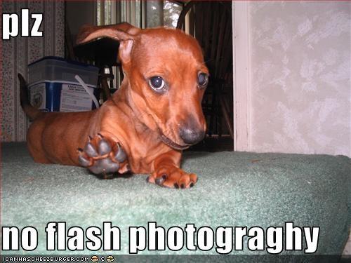dachshund indoors pupperazi - 1696381696