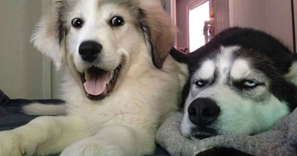 dogs jokes husky puns