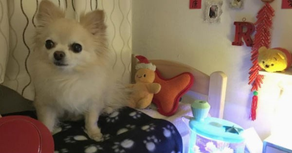dogs pets cute chihuahua bedroom - 1746181