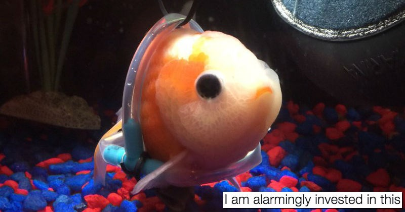 twitter,goldfish,kindness,faith in humanity restored,wheelchair,fish