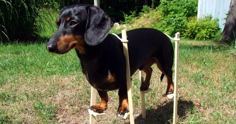 funny weiner dog on stilts photoshops