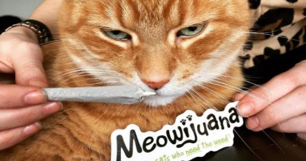marijuana pets catnip Cats weed