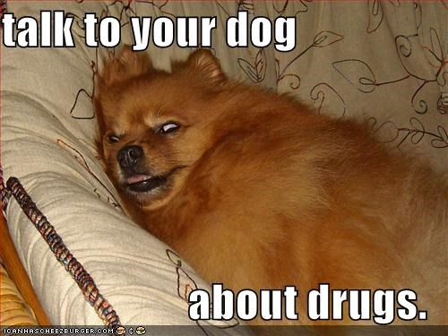 chair crazy drugs eyes pomeranian - 1800034048