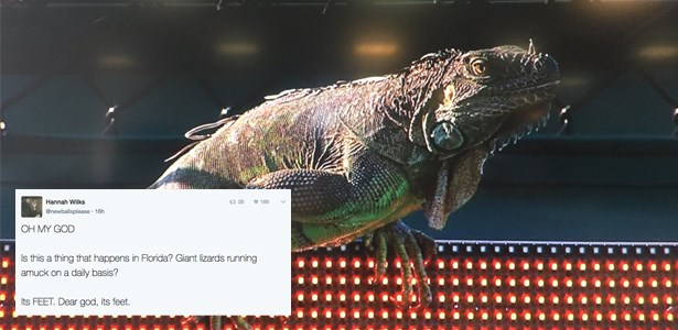 tennis lizard iguana - 1804037