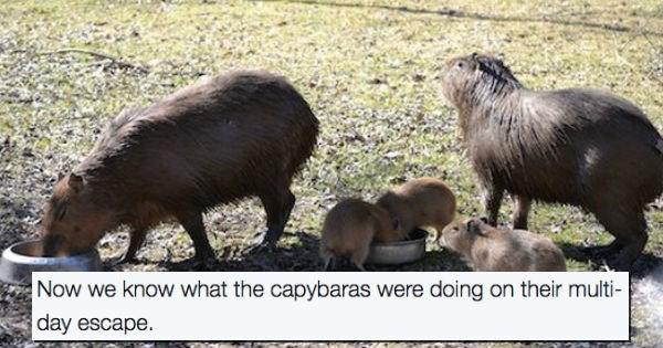 aww Babies capybara toronto zoo - 1804549