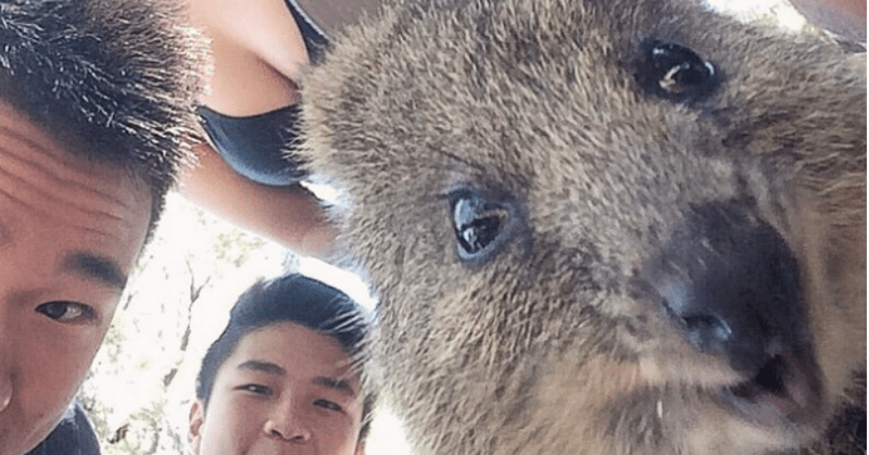selfies of the always smiling cute animal quokka