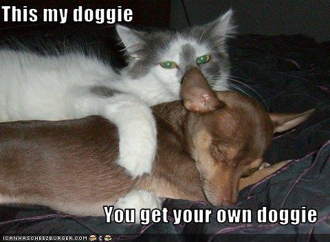 bed chihuahua hugging indoors lolcats mine sleeping - 1833044224