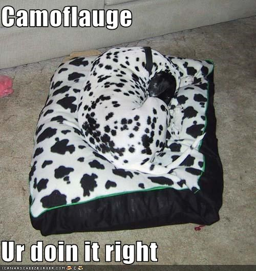 bed,camouflage,dalmatian,doing it right