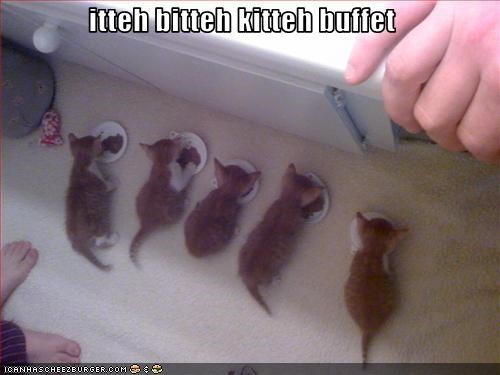 buffet cute fud ibkc kitten nom nom nom - 1834501888